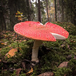 Mead Laced With Fly Agaric