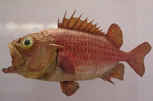 COTEEN - Money Fish