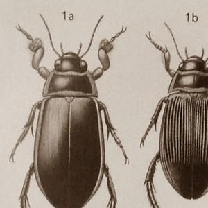 LAPPLONDER - Water Beetles