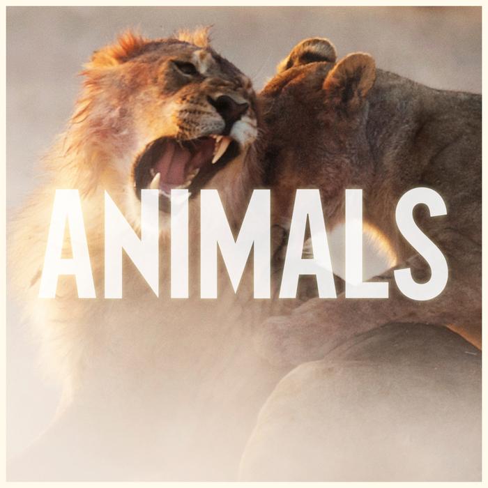 Animals adam levine teaser gif on gifer by yggriel.